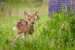 White-Tailed Deer Fawn Odocoileus virginianus Stands Near Lupi. Ne Patch - captive animal Stock Photography