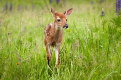 White-Tailed Deer Fawn Odocoileus virginianus Stands One Ear B. Ack - captive animal Stock Photos