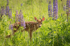 White-Tailed Deer Fawn Odocoileus virginianus Stares Out from. Lupin Patch - captive animal Stock Photos