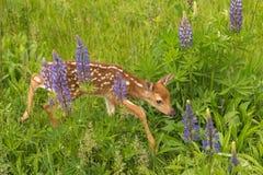 White-Tailed Deer Fawn Odocoileus virginianus Steps Carefully. Through Lupin - captive animal Stock Photography