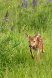 White-Tailed Deer Fawn Odocoileus virginianus Steps Through Fi Stock Photography