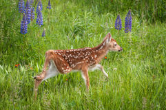 White-Tailed Deer Fawn Odocoileus virginianus Steps High Throu Royalty Free Stock Photos
