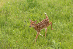White-Tailed Deer Fawn Odocoileus virginianus Trots Left Throu Royalty Free Stock Images