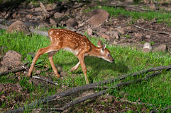 White-Tailed Deer Fawn (Odocoileus virginianus) Trots Right Royalty Free Stock Photo