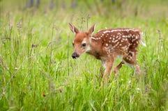 White-Tailed Deer Fawn Odocoileus virginianus Walks Forward He. Ad Down - captive animal Royalty Free Stock Photography