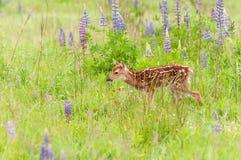 White-Tailed Deer Fawn Odocoileus virginianus Walks Through Gr Stock Photos
