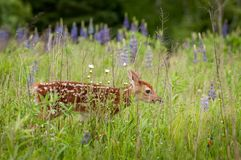 White-Tailed Deer Fawn Odocoileus virginianus Walks Nearly Hid. Den in Grass - captive animal Stock Images