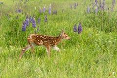 White-Tailed Deer Fawn Odocoileus virginianus Walks Right Thro Royalty Free Stock Image