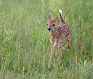 White tailed deer fawn running Royalty Free Stock Image