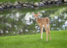 White-tailed deer fawn Royalty Free Stock Images