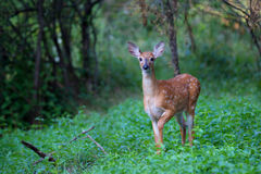 White-tailed deer fawn. In spring Stock Images