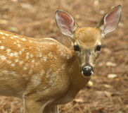 White tailed deer fawn standing close Stock Photo