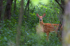 White-tailed deer fawn standing in the forest. White-tailed deer fawn in the forest Stock Images