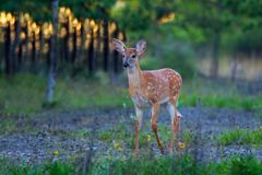 White-tailed deer fawn standing in the forest. White-tailed deer fawn in the forest Stock Photography