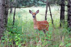 White-tailed deer fawn standing in the forest. White-tailed deer fawn in the forest Royalty Free Stock Image