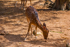 White-tailed deer fawn standing in a grassy field. Borneo, Malaysia Stock Photo