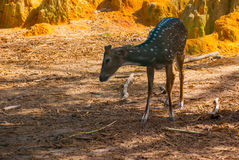 White-tailed deer fawn standing in a grassy field. Borneo, Malaysia Royalty Free Stock Photo