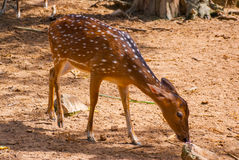 White-tailed deer fawn standing in a grassy field. Borneo, Malaysia Stock Images