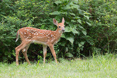 White tailed deer fawn standing. With green bushes as a background Royalty Free Stock Photo
