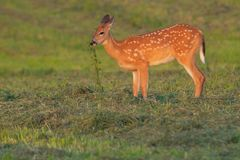 White-tailed Deer. Fawn standing in a mown field eating freshly cut greenery. Lynde Shores Conservation Area, Whitby, Ontario, Canada Royalty Free Stock Photos