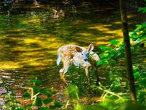 A white tailed deer fawn standing in a stream. A white tailed deer, Odocoileus virginianus, fawn stands in a forest steam on a hot summer day Stock Image