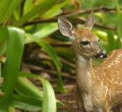 White tailed deer fawn standing up looking right royalty free stock photos