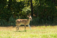 White-tailed Deer fawn in a sunny pasture Stock Photography