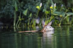 White-tailed Deer fawn swimming by the shore of a lake. A White-tailed Deer fawn Odocoileus virginianus swimming by the shore of a lake - Haliburton, Ontario stock photo