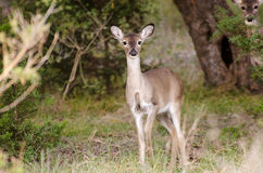 White-tailed Deer fawn, Texas Hill Country Royalty Free Stock Images