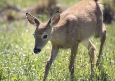 White-tailed deer fawn Stock Images