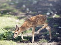 White-tailed deer fawn Royalty Free Stock Photography