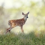White-tailed deer fawn. In grass Stock Photography
