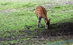 White-tailed Deer Fawn. Venturing out on its own and licking Royalty Free Stock Photos