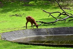 White-tailed Deer Fawn. Venturing out on its own and licking Stock Images