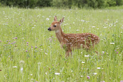 White tailed deer fawn in wildflowers. White tailed deer fawn with spots showing is standing in a meadow of wildflowers Stock Photography