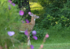 White Tailed Deer Fawn. Young  White Tailed Deer  (Odocoileus virginianus) stands amid flowers in a garden in eastern U.S Stock Images