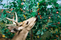 White Tailed Deer Feeding Royalty Free Stock Photo