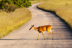 White tailed deer feeds at Big Meadow Royalty Free Stock Image