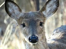 White Tailed Deer Female Looking Straight Ahead Portrait stock photos