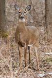 White-tailed Deer. Female White-tailed Deer standing erect and alert looking for danger amongst the trees. Lynde Shores Conservation Area, Whitby, Ontario Stock Photography
