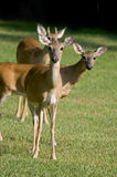 White-tailed deer in field Stock Photography