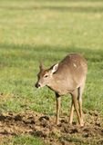 White Tailed Deer in Field Stock Image