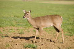 White Tailed Deer in Field stock images