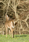 White Tailed Deer in Field Stock Photo