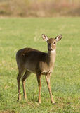 White Tailed Deer in Field Royalty Free Stock Image