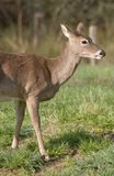 White Tailed Deer in Field. A White Tailed Deer (Odocoileus virginianus) in a field Royalty Free Stock Photography