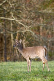 White Tailed Deer in Field Royalty Free Stock Images