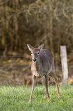 White Tailed Deer in Field. A White Tailed Deer (Odocoileus virginianus) in a field Stock Photos