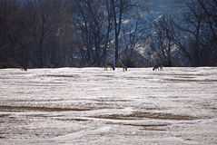 White Tailed Deer in a field Stock Photography