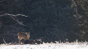 White-tailed Deer and flock of Wild Turkey feeding stock video footage